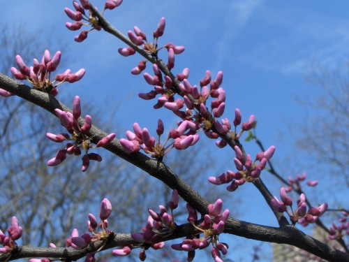 Redbud tree, truly spring is finally here!