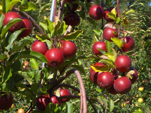 Don't you just want to reach out and grab one of these apples?