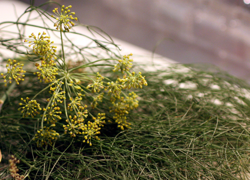 A pile of fresh picked anise leaves and flowers